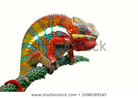 Cute chameleon of Madagascar  Stock photo © africa