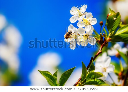abeja · flor · manzano · néctar · flores · blancas · primavera - foto stock © Epitavi