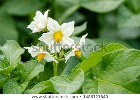 Close up of potato flowers Stock photo © digoarpi