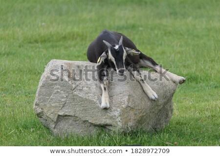 Cartoon Goat Napping Stock photo © cthoman