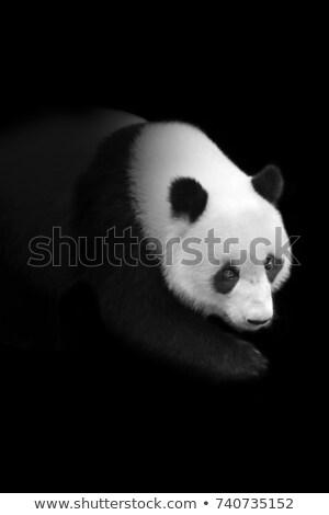 Panda escuro floresta ilustração natureza paisagem Foto stock © colematt
