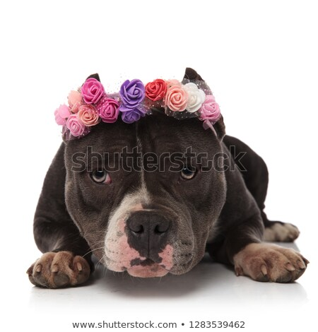 adorable american bully wearing fresh flowers crown resting Stock photo © feedough