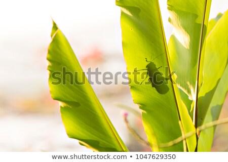 Gigant konik polny cień duży liści lasu Zdjęcia stock © Lopolo
