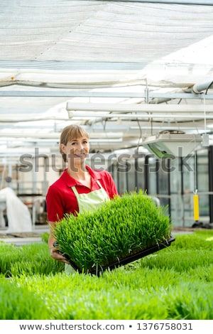 Woman showing wheatgrass in market garden  Stock fotó © Kzenon