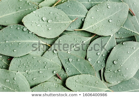 Floral background with eucalyptus leaves Stock photo © furmanphoto