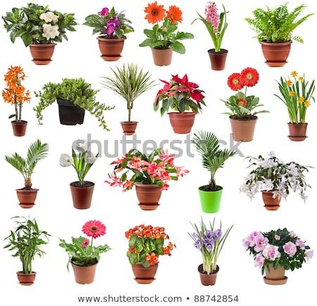 kert · virágcserép · tavasz · citromsárga · nárcisz · ajándék - stock fotó © melnyk