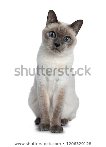 старший · синий · точки · тайский · кошки · сидят - Сток-фото © CatchyImages