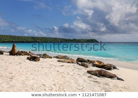 galapagos sea lion in sand lying on beach on gardner bay beach espanola island stock photo © maridav