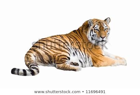虎 カットアウト 孤立した 白 背景 動物 ストックフォト © DragonEye