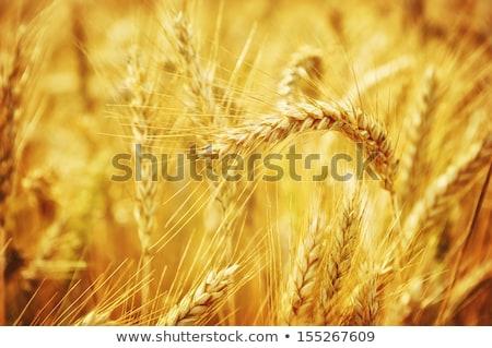 大麦 フィールド クローズアップ ショット 緑 耳 ストックフォト © prill
