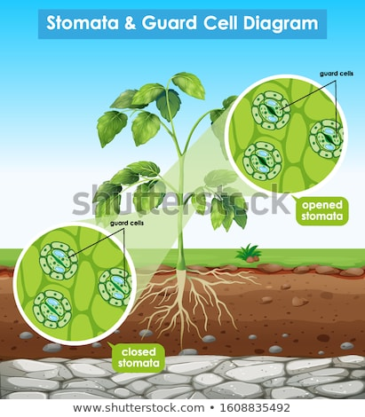 Diagram showing stomata and guard cell  Stock photo © bluering