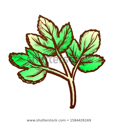 Parsley Sprig Fresh Spice For Nutrition Ink Vector Stock photo © pikepicture