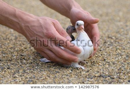 Man with pigeon in pigeon loft Stock photo © Kzenon