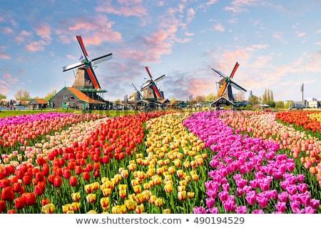 Windmills at Zaanse Schans in Holland on sunset. Zaandam, Netherlands Stock photo © dmitry_rukhlenko
