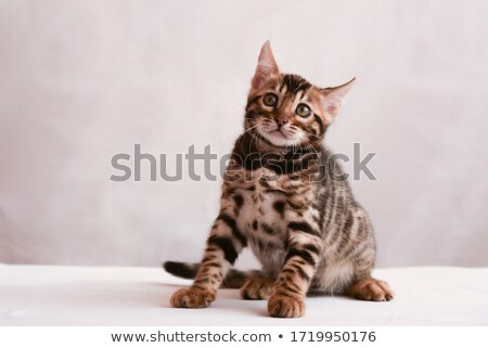 Bengal kitten looking shocked and staring Stock photo © backyardproductions