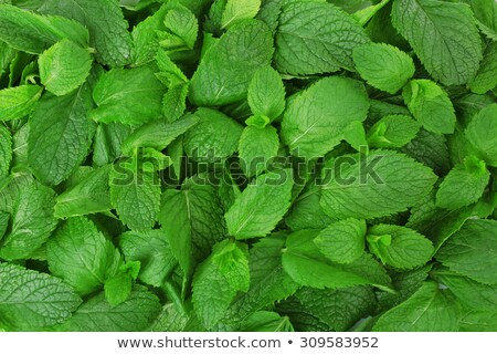 Close up of spicy flavored and aromatic mint leaf  Stock photo © mnsanthoshkumar