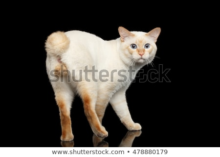 Foto stock: Atrás · masculina · gato · Foto · gato · siamés · pie