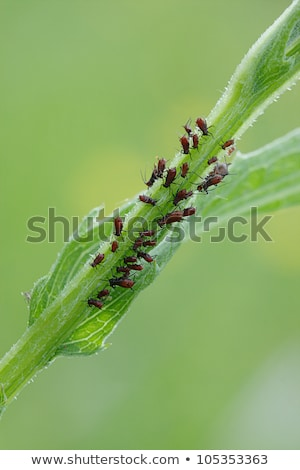 plant louses on a stalk Stock photo © prill