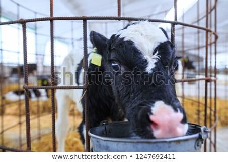 Stock fotó: Baba · tehén · ketrec · természet · tej · hús