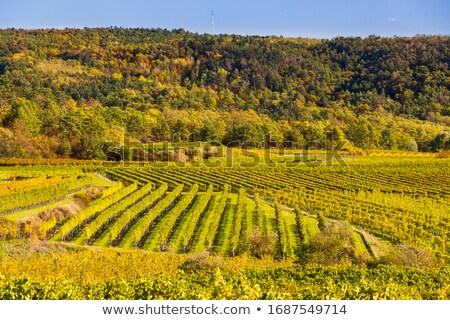 vineyard in lower austria stock photo © tepic