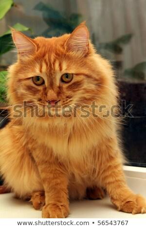 bobtail red cat on window stock photo © mikko