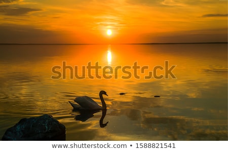 Cisne reflexión azul aves blanco animales Foto stock © mayboro1964
