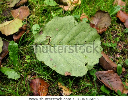 yellow alder leaves stock photo © pressmaster