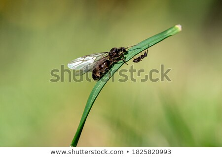Winged ants swarming on a hot summer day Stock photo © digoarpi