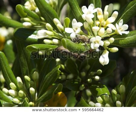 Vad narancsfa közelkép gally zöld gyümölcs Stock fotó © cosma