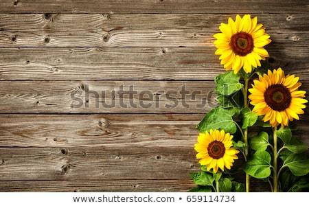 Sunflower background stock photo © varts