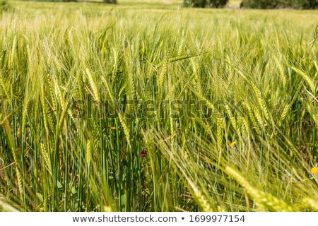 green barley and sunset stock photo © mycola