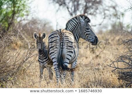 зебры · лице · вверх · тесные · глаза · природы - Сток-фото © fouroaks