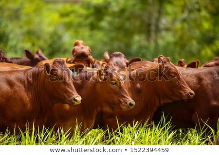 Red angus cow Stock photo © Habman_18