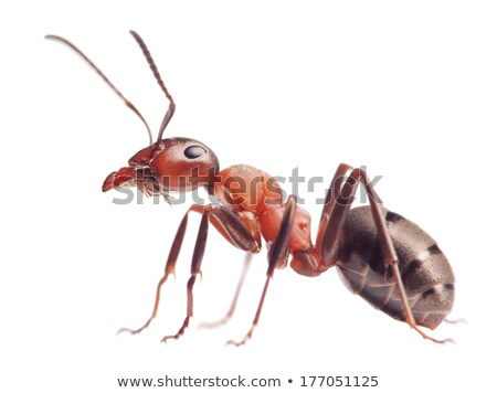 Ant isolated on white background Stock photo © bloodua