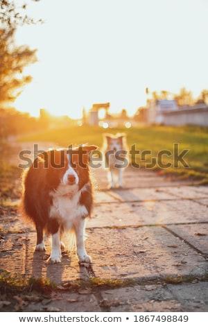 Border Collie sunset Stock photo © ottoduplessis