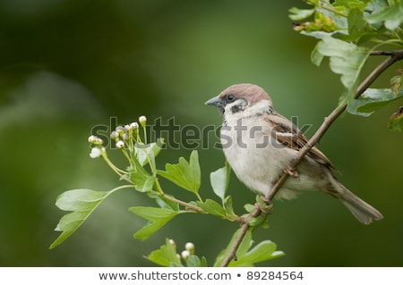 Ağaç serçe kuş Stok fotoğraf © chris2766
