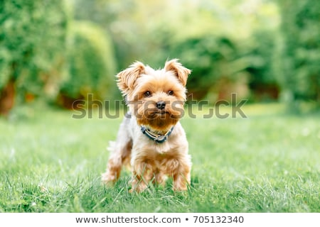 yorkshire terrier puppies sitting on white background stock photo © tobkatrina
