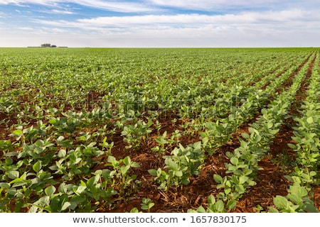 Wspaniały soja plantacja Błękitne niebo nice widoku Zdjęcia stock © lypnyk2
