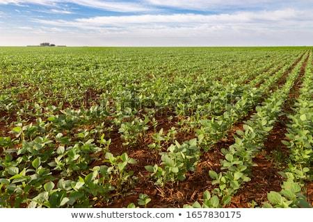 Wonderful soy plantation and blue sky. Stock photo © lypnyk2