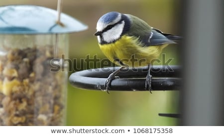Salgueiro teta ramo acima pássaro tabela Foto stock © HJpix