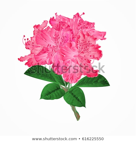 Stock photo: Flowering shrub rhododendron in mountains