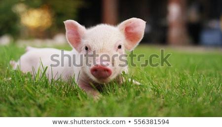 свинья · каменной · стеной · продовольствие · фермы · ходьбе · молодые - Сток-фото © adrenalina