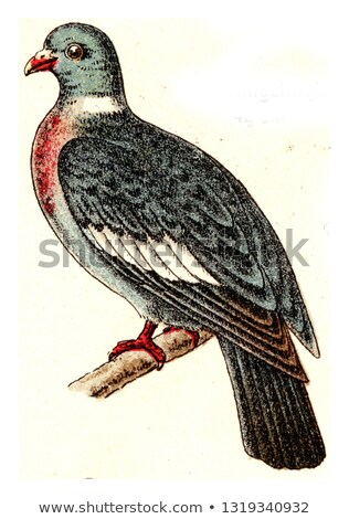 Common Wood Pigeon (Columba palumbus) or Culver, vintage engravi Stock photo © Morphart