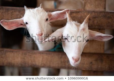 Keçi çiftlik beyaz gözler süt Stok fotoğraf © kenishirotie