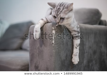 Cat scratching - Closeup stock photo © icemanj