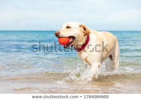 corrida · cão · água · lago · cara · corpo - foto stock © lightkeeper