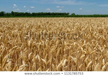 Jó termény kör bála boglya búza Stock fotó © barabasa