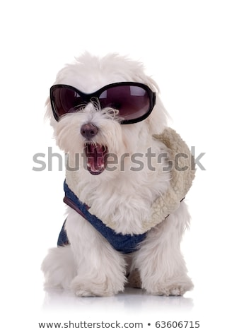 bichon puppy dog wearing blue clothes and sunglasses stock photo © feedough