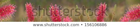Australian wildflower grevillea smartphone banner Stock photo © sherjaca