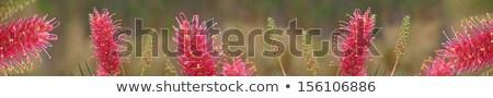 avustralya · kır · çiçeği · afiş · doğa · pembe - stok fotoğraf © sherjaca